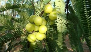 Gooseberry Health Benfits in Telugu.