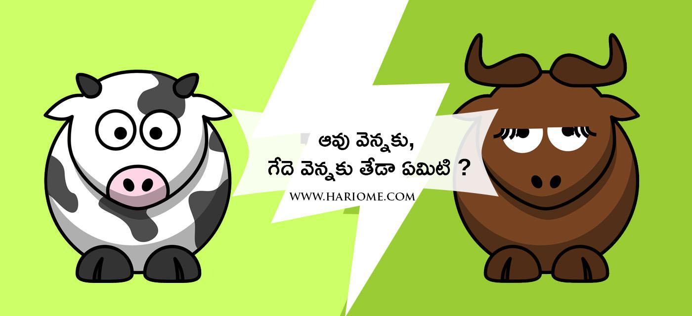 cow_buffalo_butter