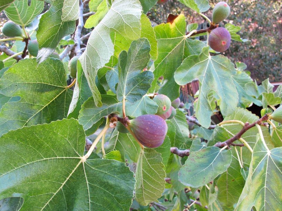 Fig-Tree-