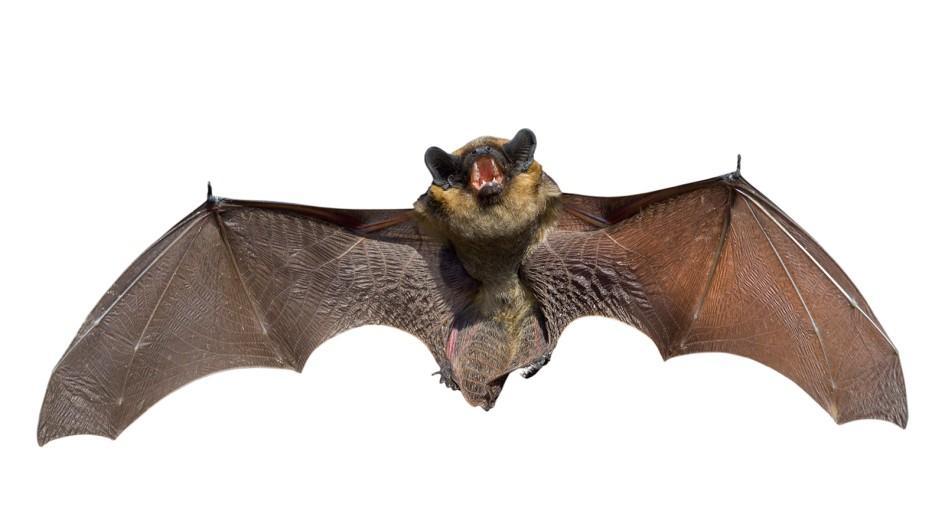 bat-myths-hariome