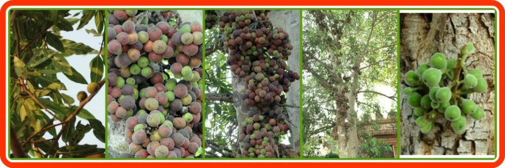 oudumbara-tree