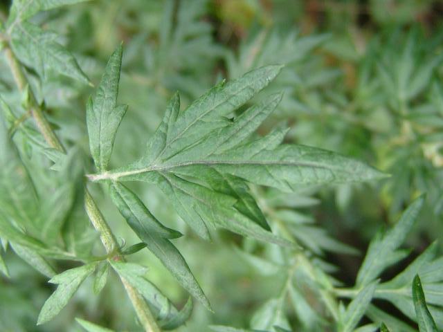 artemisia_vulgaris_mugwort_leaf_HariOme